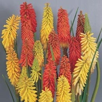 Red Hot Poker Flamenco