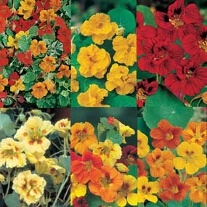 Nasturtiums Collection