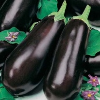 Aubergine Early Long Purple 2