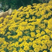 Alyssum Gold Dust