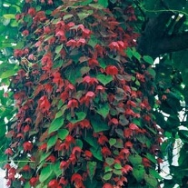 Rhodochiton Purple Bell Vine