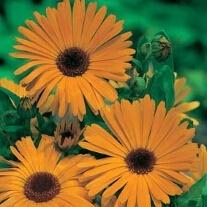 Calendula 'Pot Marigold' Nova