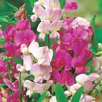 Sweet pea Everlasting Mixed - 25% extra FREE