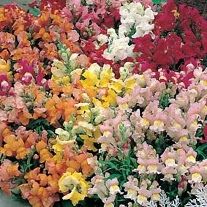 Antirrhinum Tom Thumb