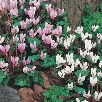 Cyclamen Hardy Mixed - hederifolium