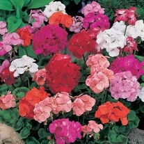 Geranium Special Mop Head Mixed F1