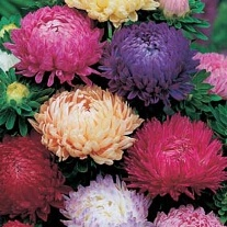 Aster Duchess Mixed