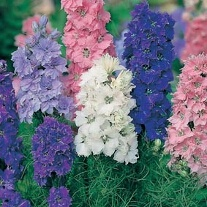 Larkspur Dwarf Hyacinth Flowered Mixed