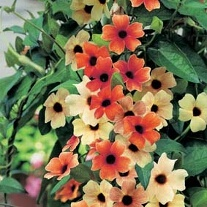 Black Eyed Susan Sunset Shades