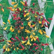 Eccremocarpus Tresco Mixed