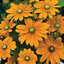 Rudbeckia Irish Spring