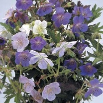 Geranium Hardy Mixed - pratense