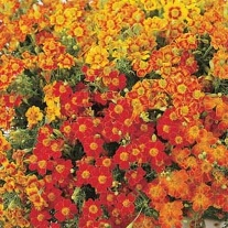 Tagetes Starfire Mixed