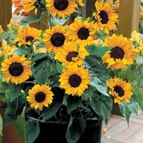 Sunflower Baby Face F1