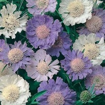 Scabious Border Mixed