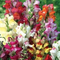 Antirrhinum Circus Clowns