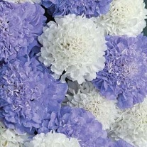 Scabious Musical Prelude