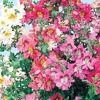 Schizanthus Large Flowered Mixed