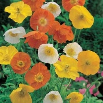 Poppy Iceland Mixed