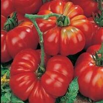 Costoluto Fiorentino Tomato Seeds