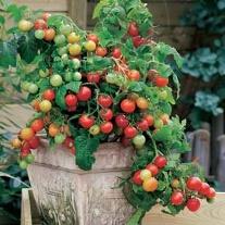Tomato Maskotka