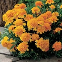 Marigold (French) Chasca