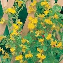 Canary Creeper