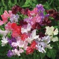 Sweet Pea Showbench 8