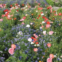 Mixed Annuals Carrie Ann