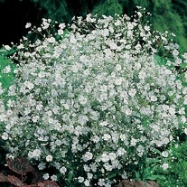 Gypsophila Covent Garden