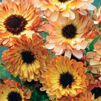Calendula Sunset Buff
