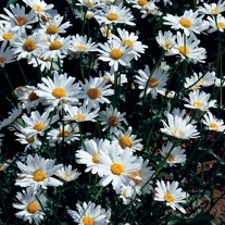 Chrysanthemum White Breeze
