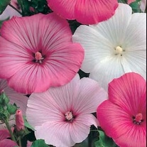 Lavatera Pastel Mixed