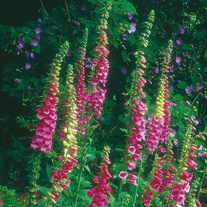 Wildflower Foxglove