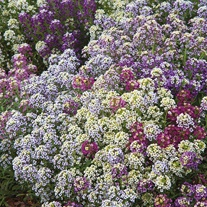 Alyssum Wandering Mixed