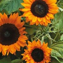 Sunflower Copper Queen F1