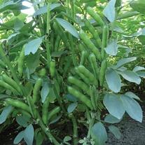 Broad Bean Duet