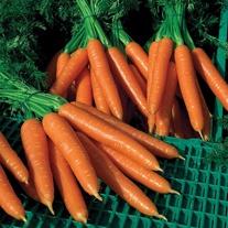 Carrot Silvano F1
