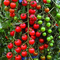 Tomtastic F1 Tomato Seeds