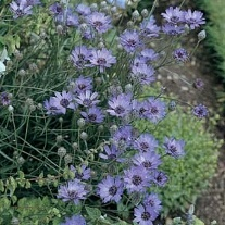 Catananche Cupids Dart