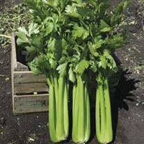 Celery Hadrian F1