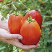 Tomato Super Mama F1