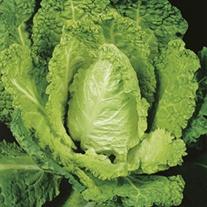 Cabbage (Savoy) Bloemendaalse Gele (ORGANIC)