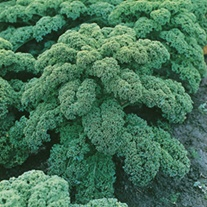 Kale Westland Winter (ORGANIC)
