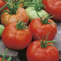 Tomato Ace 55 VF (ORGANIC)