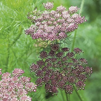 Daucus Purple Kisses Mixed