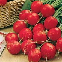 Radish Scarlet Globe ~ 25% extra FREE