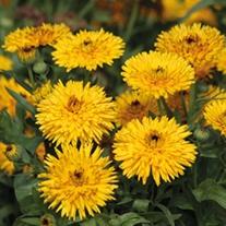 Calendula Calexis Yellow