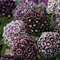 Dianthus Hollandia Purple Crown