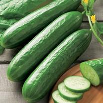 Cucumber Silor F1